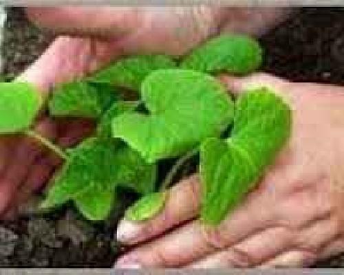 دانلود تحقیق تنش شوری در حین رشد گیاه سویا